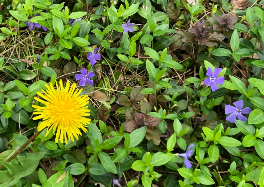 Closeup of a dandelion blossom and several small purple flowers among bright green leaves
