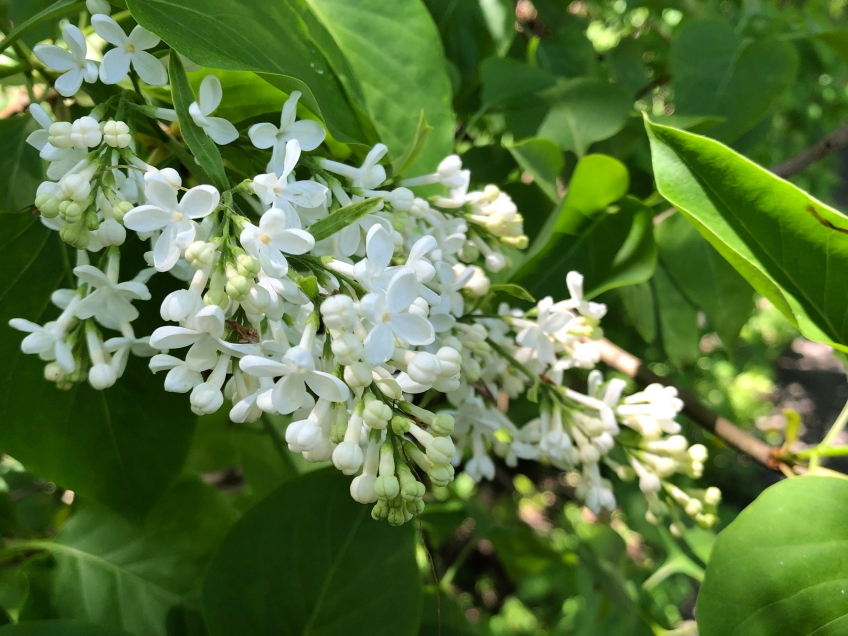 Closeup of a cluster of white lilac blossoms, opened and unopened