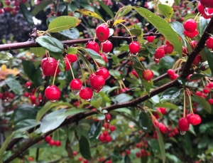 Bright red berries among green leaves, each berry with a drop of rain
