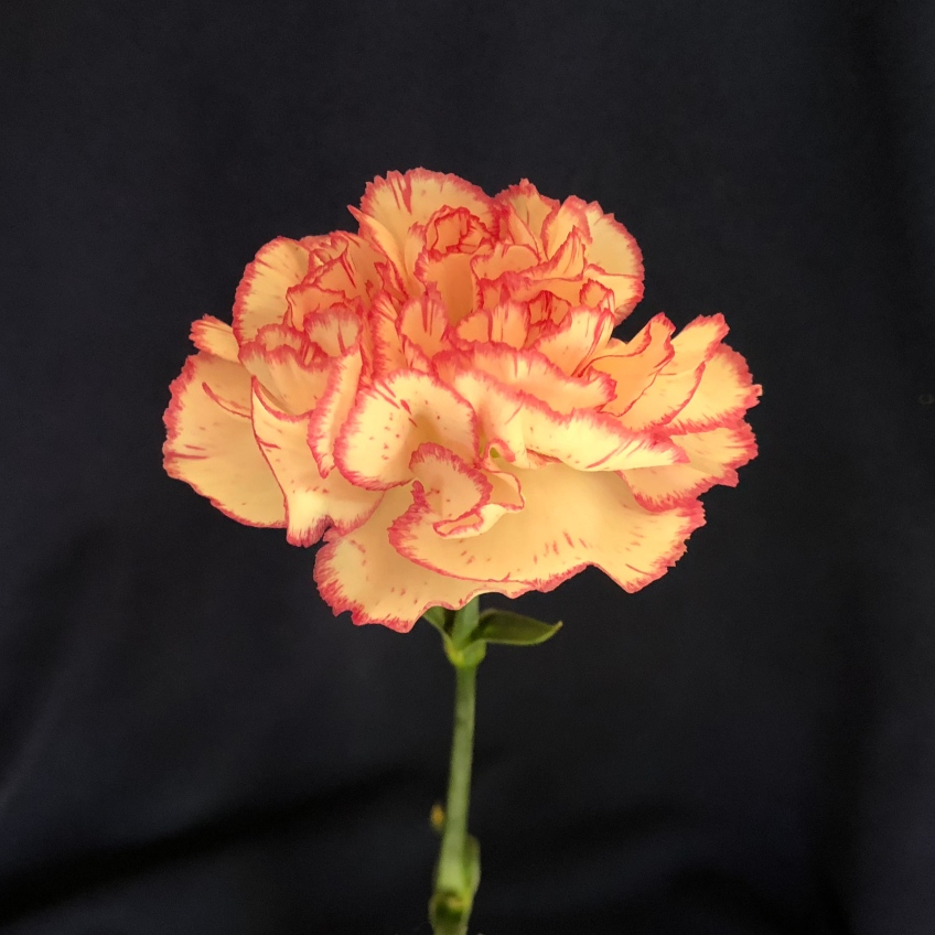 A carnation posed against a black background, with yellow petals edged in bright pink