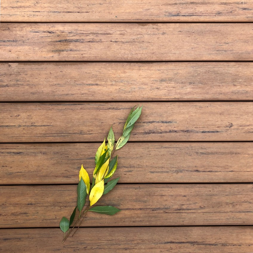 Reddish horizontal boards on the my back deck, plus some branches of green & yellow leaves