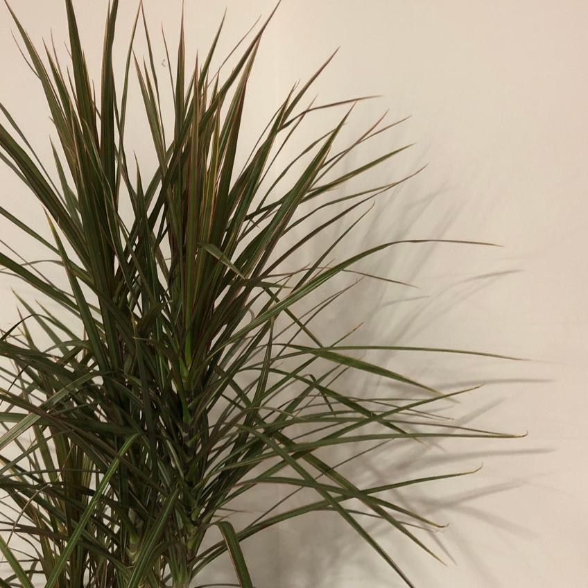 Narron green leaves form a bushy shape