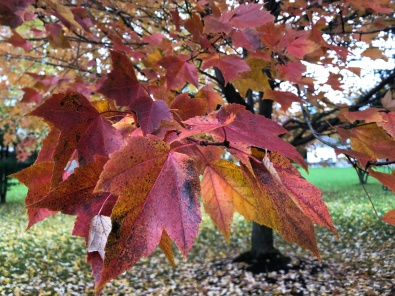 Closeup of a cluster of bright red/orange maple leaves