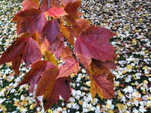 Closeup of bright red maple leaves, lookind down on a yard strewn with fallen leaves