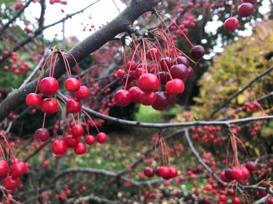 Bright red berries dangling from branches