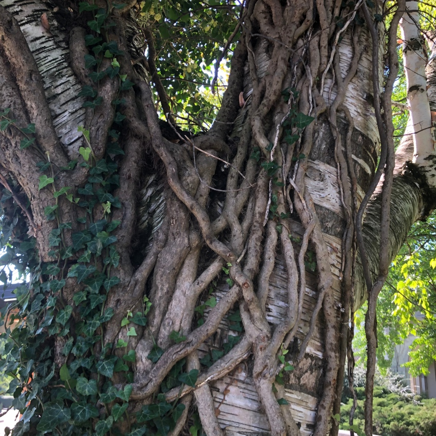 A large birch tree is tightly entwined by the vines of English ivy