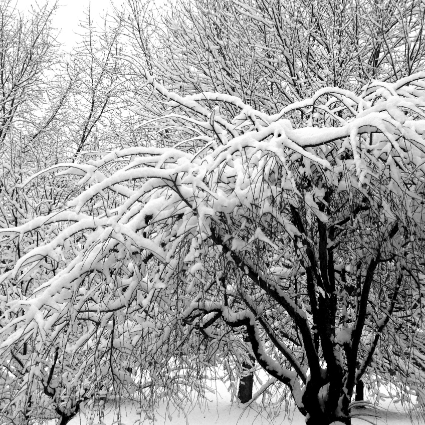 The dense, twisted branches on these trees each carry an inch or two of snow