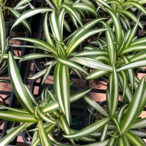 Looking down at a collection of small spider plants, leaves striped in green and white
