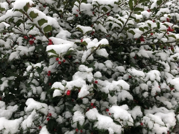 A holly bush with dark green leaves coated in white snow, and a scattering of bright red berries