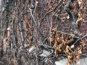Thick vines, decorated with a few dried leaves, twist around the corner of this brick building