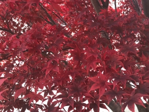 Closeup of dense, bright red leaves on an autumn tree